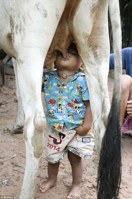 Boy turns to cow for fresh milk in absence of his mother !