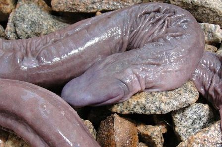 Snake Which Resembles A Manhood Discovered In Brazil (Photo)